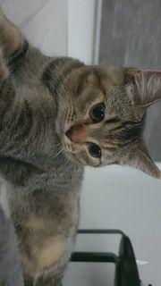 vollständig geimpfte sozialisierte Kitten