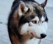Siberian-Husky Wufplanung Dez 2021