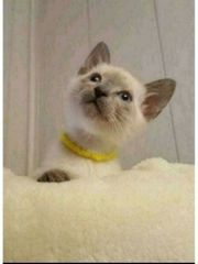 Siam Thia Kitten Baby Katze