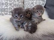 MAINE COON-PERSER KITTEN