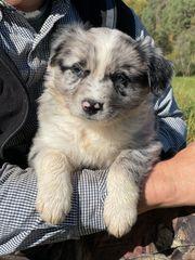 Mini Australian Shepherds aus Tierarztfamilie