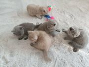 Stammbaum Reinrassige BKH Kitten Katzenbabys