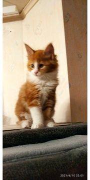 Wunderschöne reinrassigen Maine Coon Kitten