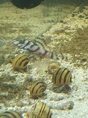 Aquarium Schnecken Zebra Schnecken Asolene