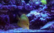 Meerwasser Hawai Doktor Fisch Zebrasoma