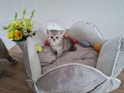 Noch ein zauberhaftes BKH Kitten