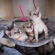 Bengal Snow Mink Kitten weiblich
