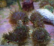 Rhodactic Howesii Korallen Meerwasser