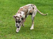 Wunderschöner Deutsche Doggen Junghunde