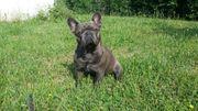 Sehr hübscher Französischer Bulldogge Deckrüde