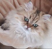 Reinrassige Perserbabys Perserkitten Perserkätzchen Katzenbabys