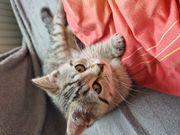 Bkh kitte reinrassig mädchen