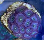 Korallen Ableger WYSIWYG Meerwasser Zoa