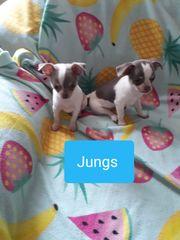 Kleine Chihuahua Kinder suchen absofort