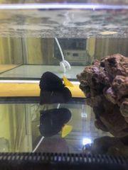 Rotmeer Doktorfisch - Zebrasoma xanthurum