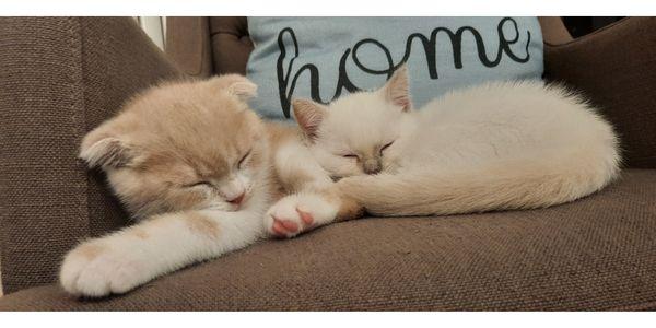 BKH Kitten besonders hübsch *ABGABEBEREIT*