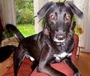 Labradormix Piet sucht neues liebevolles