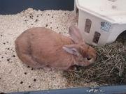 kaninchen ca 6 Monate alt