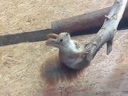 Eichhörnchen Weibchen