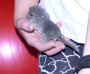 Chinchilla Jungtier in dunkel blau-grauer