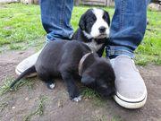 Dobermann schäferhund labbi