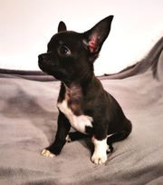 Exclusiver Chihuahua in dunkle Schoko -