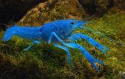 3 blaue Floridakrebse ein Männchen