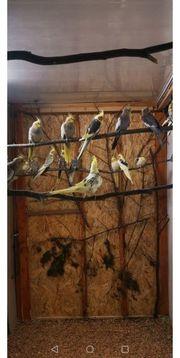 Nestjunge sowie junge Nymphensittiche abzugeben