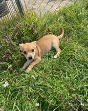 Chihuahua Welpe Rüde