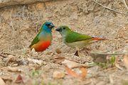 Lauchgrüne Papageiamadinen