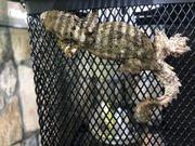 Faltengecko groß lat Ptychozoon Kuli