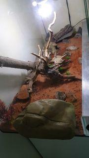 2 Leopardgeckos wild mit terrarium