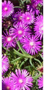 1 pinkfarbene Mittagsblume Delosperma Cooperi