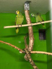 0 1 Blaustirn Amazone