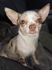 wurf Ankündigung Chihuahua Welpen