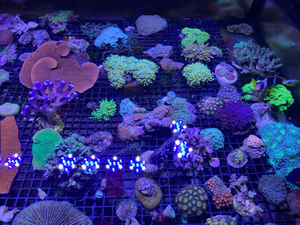 Korallen / Korallenableger Meerwasser mit Versand