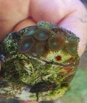 Meerwasser Zoanthus radioaktiv dragon