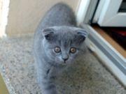 2 schöne BKH Scotish Kitten