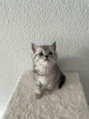 Bkh kitten wir haben noch
