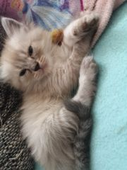 Main coon perser mix