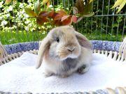 junges Kaninchen Zwergkaninchen Zwergwidder Nhd