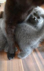 BKH Kitten beide Eltern mit