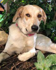 Labrador-Bracken-Mix Hündin 1 Jahr kastriert