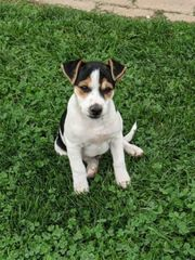 jack Russell Terrier Welpen Reinrassig