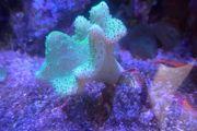 Korallen Kupferanemone