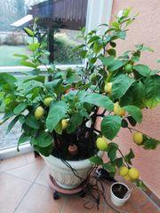 Zitronen Baum