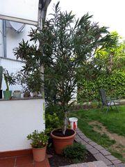 Oleander 3 m hoch