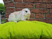 Kleine Kaninchen Zwergwidder Farbenzwerge Rexzwergwidder