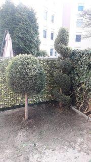 2 Stück Thuja Lebensbaum 1