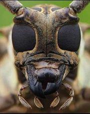 Dunkle Biene Königin